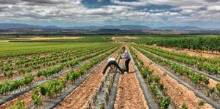 Los hongos del suelo del viñedo que se asocian con enfermedades de la madera se reducen a través de la biofumigación con mostaza blanca