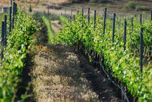 Tecnovino Bodegas Comenge cuidado del vinedo 2