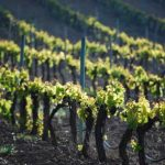 El cuidado del viñedo en Bodegas Comenge, las ventajas de la viticultura ecológica