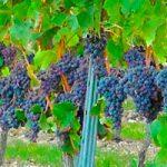 Se convocan nuevas ayudas de apoyo al sector vitivinícola español