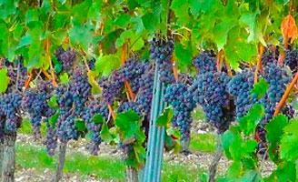 Tecnovino ayudas de apoyo al sector vitivinIcola espanol