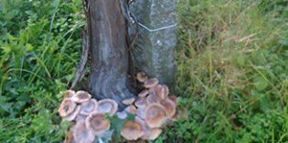 La podredumbre blanca de las raíces de la vid puede tener los días contados con Sanavid, un proyecto de Pazo de Señorans