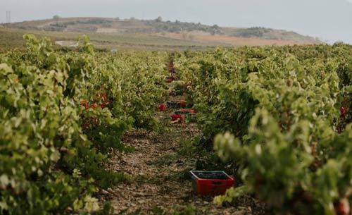 Tecnovino Bodegas Bilbainas cantidad y calidad de la uva vinedo 2 detalle