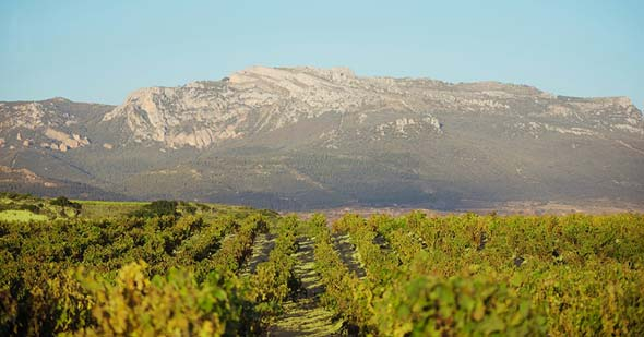 Tecnovino Bodegas Bilbainas cantidad y calidad de la uva vinedo 1