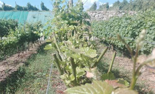 Tecnovino retrasar la maduracion de la uva ICVV