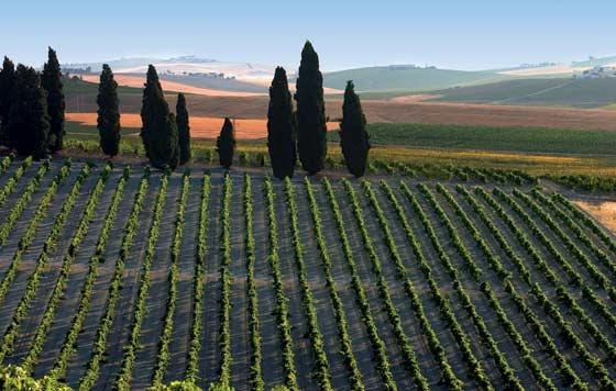 Tecnovino vendimia en el Marco de Jerez vinas
