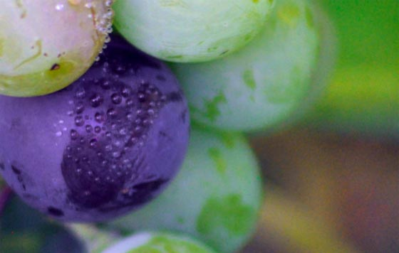 Tecnovino produccion de vino detalle de uvas