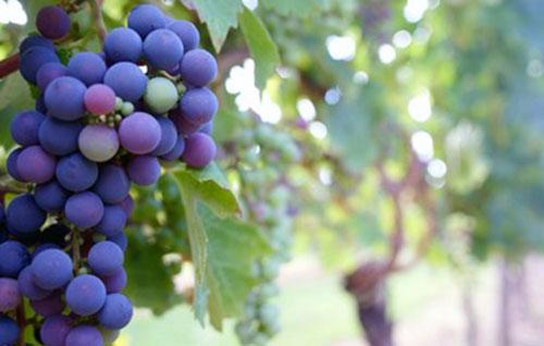 Tecnovino superficie de viñedo en España