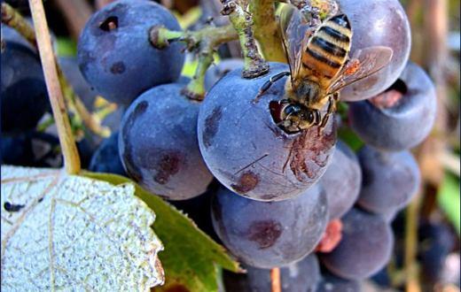 Tecnovino proyecto ViPolen  fermentación del vino