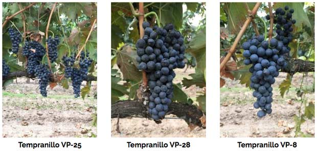 Tecnovino clones de Tempranillo Viveros Provedo