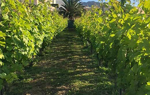Tecnovino vinos grancanarios DOP de Gran Canaria