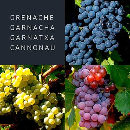 Tecnovino Garnachas del Mundo racimo viñedo
