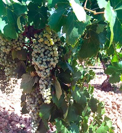 Tecnovino vendimia en El Progreso uva blanca
