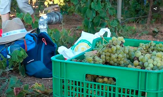 Tecnovino UPCT vino de uva merseguera vendimia