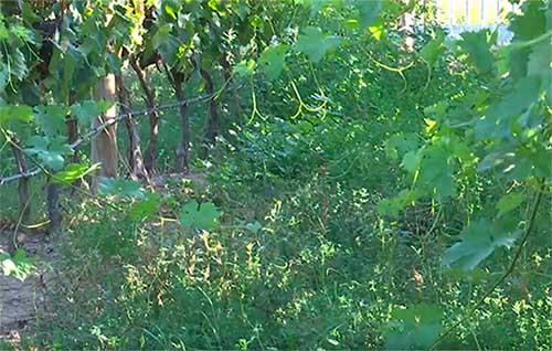 Tecnovino Universidad de La Rioja cubiertas vegetales en viñedos tesis detalle