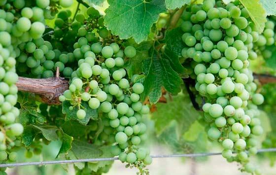 Tecnovino costes de producir uva Asaja chardonnay