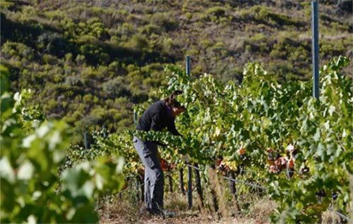 Tecnovino variedades de uva en peligro de extinción Castilla y Leon