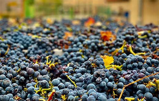 Tecnovino DOP Campo de Borja vendimia detalle uva