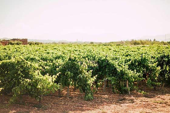 Tecnovino enoturismo en Mallorca Blanca Terra vinedo