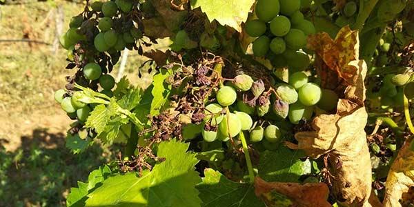 Tecnovino viñedo mildiu