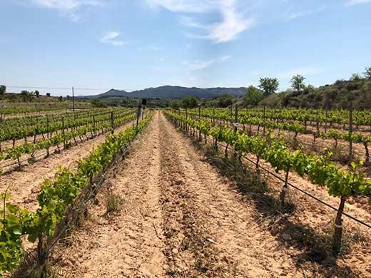 Tecnovino producción vitivinícola frente al cambio climático Globalviti viticultura