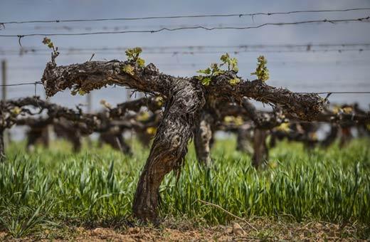 Tecnovino Familia Torres viticultura regenerativa viñedo cubierta vegetal