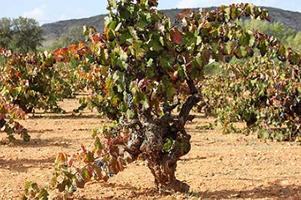 Tecnovino DOP Alicante variedades antiguas
