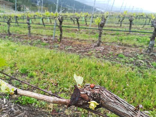 Tecnovino enfermedades fúngicas del viñedo Viña Costeira Viticast