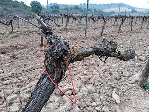 Tecnovino confusión sexual en los viñedos Garañango
