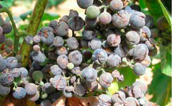 Tecnovino oidio en La Rioja