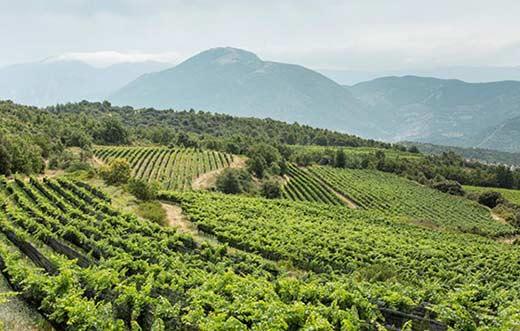 Tecnovino viñedo ecológico de Costers del Segre detalle