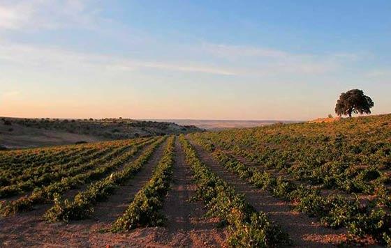 Tecnovino DO Vinos de Madrid vinedo Arganda detalle