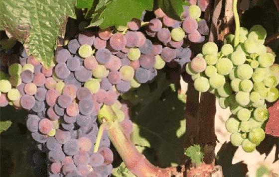 Tecnovino desperdicios del raspón de la uva Bodegas Baigorri detalle