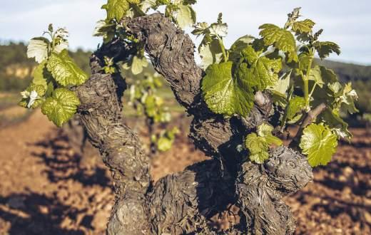 Tecnovino vitivinicultura ecológica DO Utiel-Requena
