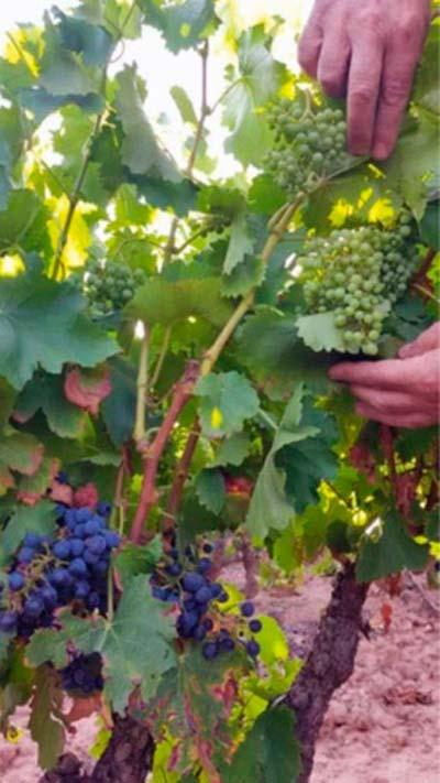 Tecnovino cosechas de uva cambio climatico Feranndo Martinez de Toda