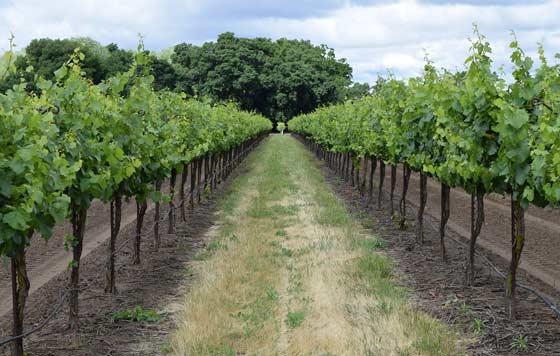 Tecnovino Unión de Uniones precio de la uva viñedo detalle